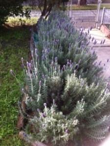 Lavenda hedge 2